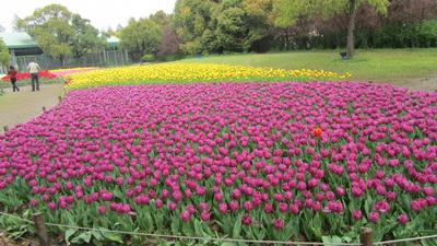 正在共青森林公园举办的第11届都市森林百花展中,15万株郁金香近日